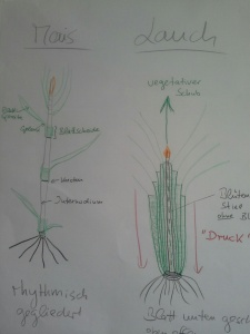 liliengewächse skizze