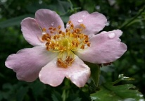rose dossenwald
